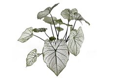 Exotic `Caladium Candidum White Christmas` houseplant or garden plant with white leaves and green veins on white backgrou
