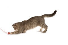 Exotic cat Royalty Free Stock Photos