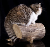 Exotic cat animals feline domestic. Exotic cat in black background royalty free stock photos