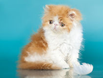 Exotic cat,  Golden Chinchilla Persian kitten Stock Photo