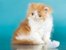 Exotic cat, Golden Chinchilla Persian kitten stock photo
