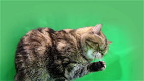 Exotic cat on a green background stock footage