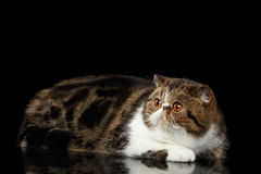Exotic Cat Lying on mirror and Looking up Isolated Black Royalty Free Stock Photography
