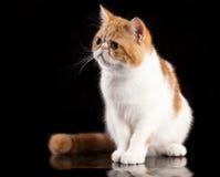 Exotic Cat stock photos
