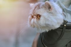 An exotic cat in short fur pockets. And the owner took it to the village. royalty free stock photo