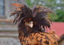 Exotic Chicken Royalty Free Stock Photography