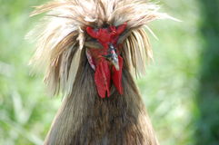 Exotic chicken in Northern VA. Exotic Chicken at animal park in Winchester virginia Stock Images