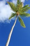 Exotic coconut palm tree Stock Photos