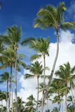 Exotic coconut palm trees Royalty Free Stock Photos
