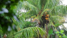 Exotic coconut tree on rainy day Stock Photos