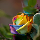 Exotic colored rose Royalty Free Stock Photography