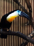 Exotic colorful bird with a large beak. toucan Royalty Free Stock Photography