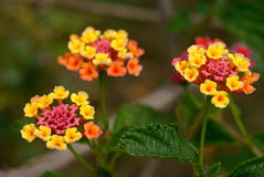 Lantana camara exotical shrub flowers Stock Photography