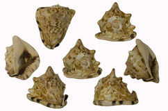 Exotic Conch Shell. Group of seven different views of a conch shell Royalty Free Stock Photography