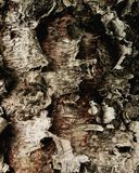 Exotic conifer bark Royalty Free Stock Photos