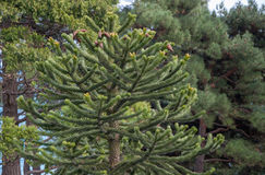 Exotic conifers in the park. In high quality Royalty Free Stock Images