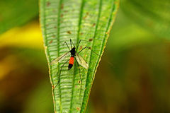 Exotic cranefly. Cranefly from forests of North Vietnam stock photography