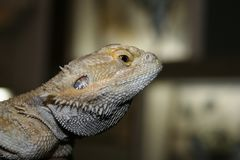 Exotic cute lizard in a terrarium poses for the camera. royalty free stock images