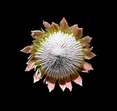 Exotic decorative flower with seeds Stock Photo