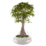 Exotic decorative plant tree in the pot Stock Photography