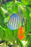 Exotic discus fish. Tropical discus fish with a live colorful pattern skin stock photo
