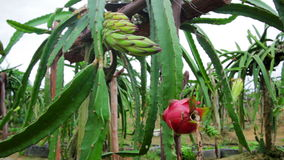 Exotic dragon fruit garden Stock Images