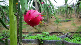Exotic dragon fruit garden Royalty Free Stock Photography