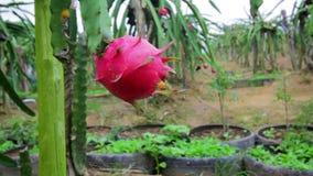 Exotic dragon fruit garden stock video footage