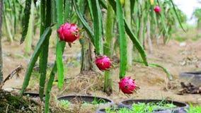 Exotic dragon fruit garden stock video