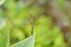 Exotic dragonfly. Dragonfly from forests of North Vietnam royalty free stock photo