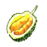 Exotic durian wild fruit in a watercolor style isolated. Exotic durian healthy food in a watercolor style isolated. Full name of the fruit: durian. Aquarelle vector illustration
