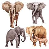Exotic  elephant wild animal in a watercolor style isolated. Exotic elephant wild animal in a watercolor style isolated. Full name of the animal: elephant Stock Photo