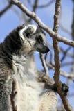 Exotic endangered animal - Lemur Stock Photography