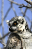 Exotic endangered animal - Lemur Stock Photos