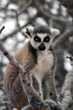 Exotic endangered animal - Lemur Royalty Free Stock Images
