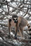Exotic endangered animal - Lemur Royalty Free Stock Photography