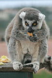 Exotic endangered animal - Lemur lunch time Royalty Free Stock Images