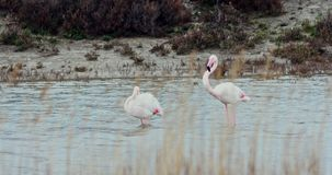 Exotic fauna - flamingo. Phoenicopterus ruber. Two flamingos bird feeding in river, in France stock video footage
