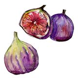 Exotic figs wild fruit in a watercolor style isolated. Exotic figs healthy food in a watercolor style isolated. Full name of the fruit: figs. Aquarelle wild Royalty Free Stock Photos