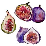 Exotic figs wild fruit in a watercolor style isolated. Exotic figs healthy food in a watercolor style isolated. Full name of the fruit: figs. Aquarelle wild Royalty Free Stock Images