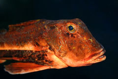 Exotic fish Royalty Free Stock Photography