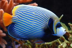 Exotic Fish 19. Colorful exotic fish swims by Stock Image