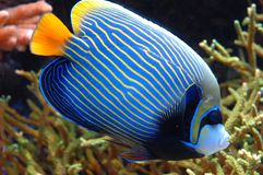 Exotic Fish 20. Colorful exotic fish swims by Stock Photos