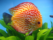 Exotic fish. Beautiful exotic fish Symphysodon Discus in aquarium Royalty Free Stock Photos