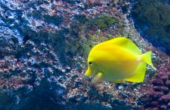 Exotic fish a Royalty Free Stock Image