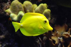 Exotic Fish. Colorful exotic fish swims by Royalty Free Stock Images