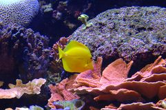 Exotic Fish. Colorful exotic fish swims by Stock Photos