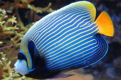 Exotic Fish. Colorful exotic fish swims by Royalty Free Stock Photos