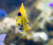 Exotic fish. A exotic tropical fish staring through the glass stock images