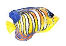 Exotic fish - angelfish. Watercolour Stock Photography